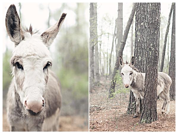 donkeysernbefog