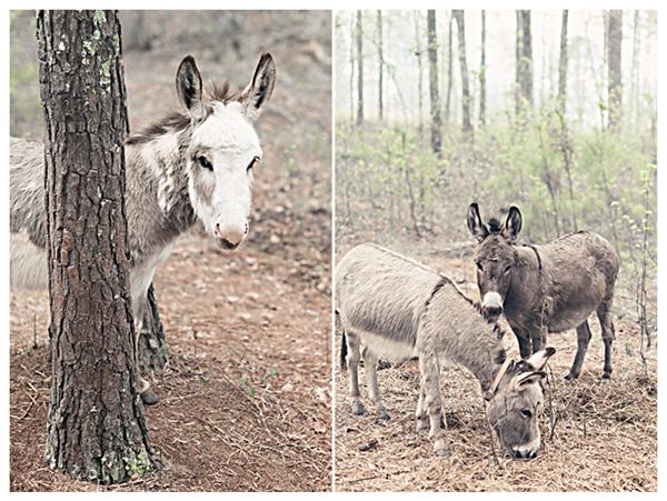 donkeysernbefog1